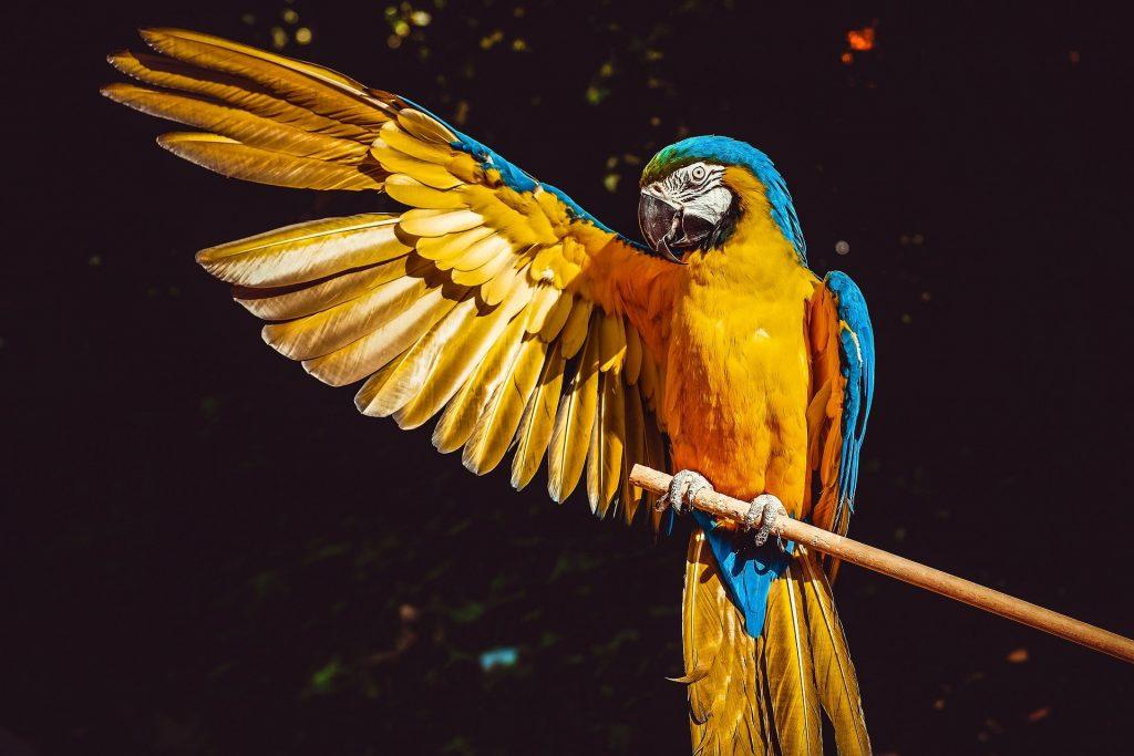 kolorowa papuga Ara z wyciągniętym prawym skrzydłem
